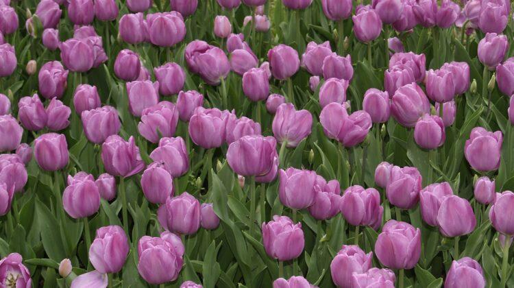 tulips purple, park garden sigurtà, italy